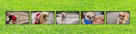 愛犬むぎ(チワワ×シーズー)のYouTubeチャンネルを開設しました
