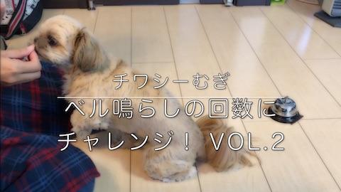 ミックス犬 チワシーむぎ 「ベル鳴らしにチャレンジ Vol.2」
