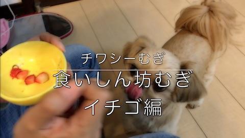 チワシーむぎ 「食いしん坊むぎ イチゴ編」