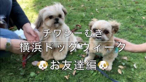 チワシーむぎ「横浜ドッグウィーク お友達編」