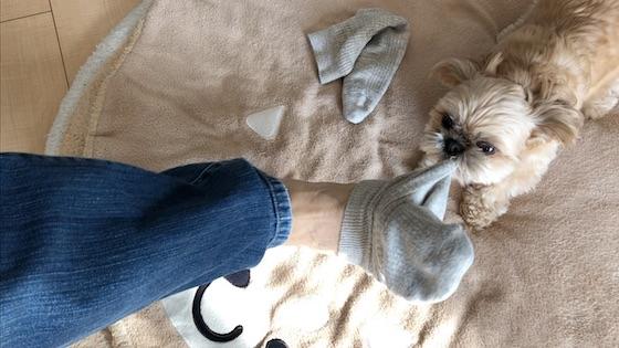チワシーむぎ「どうしても靴下を脱がせたい子犬」