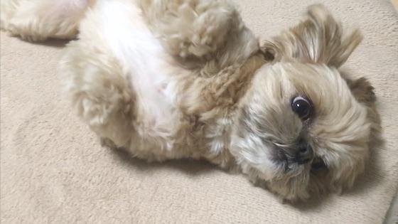 チワシーむぎ「乾燥エビの匂いつけに一生懸命な子犬」
