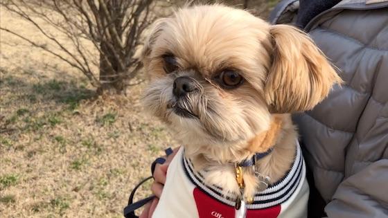 チワシーむぎ「【甘えん坊犬】散歩してすぐに抱っこをおねだりする子犬」