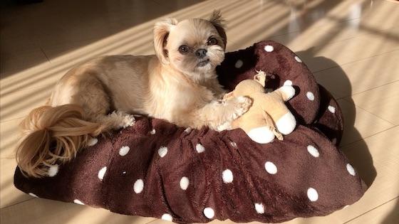 チワシーむぎ「【日光浴】ぽかぽか春がやってきた!まったり過ごす子犬」