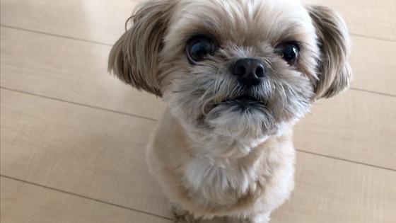 チワシーむぎ「【クイズ】大好物レースにチャレンジする子犬」