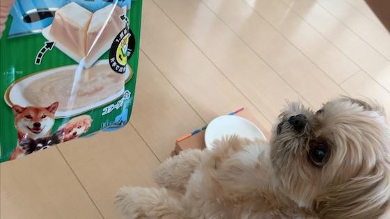 チワシーむぎ「【ちゅ〜るしよ!】新商品ワンタッチちゅーるを試してみた!」