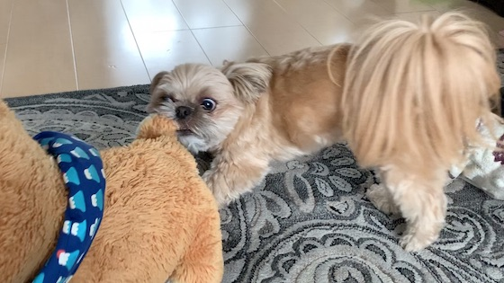 チワシーむぎ「【お気に入りのおもちゃ】ぬいぐるみ・豆三郎と戦う子犬!その後は・・・!?」