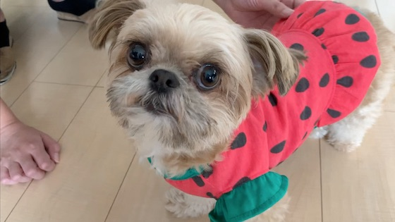 チワシーむぎ「【犬グッズ】ダイソーのわんこ服!スイカワンピース♡ 」