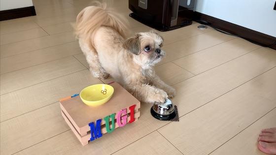 チワシーむぎ「【犬芸】呼び鈴を鳴らしておやつを食べる子犬」